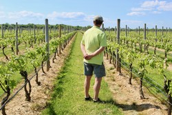 Suhru winemaker Russell Hearn inspecting the vines in the vineyard